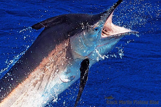Port Stephens Black Marlin