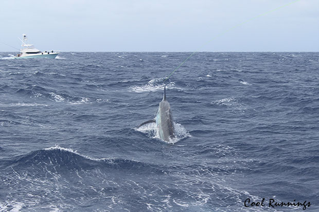grander black marlin on Cool Runnings