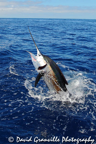 reel-capture-sailfish