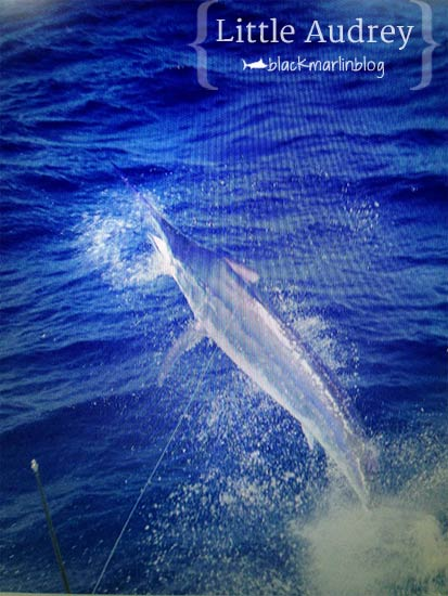 A shot of Little Audrey's 650lb-er. They were unlucky not to get a tag into a third fish.